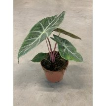 Alocasia Nairobi Night