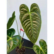 Anthurium veitchii hybride  ''Small Plant''