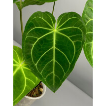 Anthurium magnificum  (Big Plant)