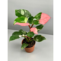 Philodendron White Princess ''Pink Splash Almost Full Moon'' nr 1