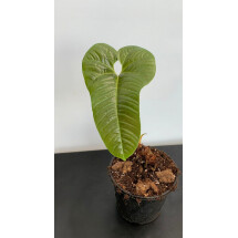 Anthurium brownii