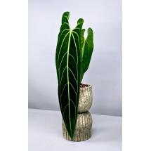 Anthurium warocqueanum (Baby Plant)