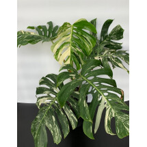 "Monstera Variegata ""large leaves (7 a 8 leaves)"""