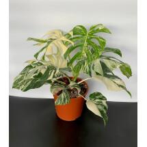 """Monstera Variegata """"large leaves (6 a 8 laeves)"""""""