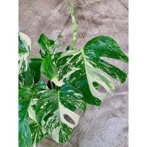 Monstera Variegata (Nice Variegation)