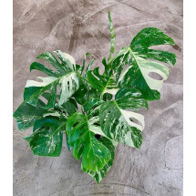 Monstera Variegata  ( 6 laeves )