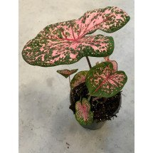 "Caladium Pink Beauty ""XXL Big Plant"""