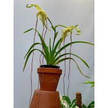 Phragmipedium lindenii ''Venezuela''