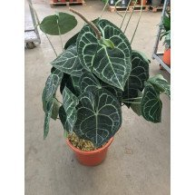 "Anthurium clarinervium ""Big XXL 3 Plants"""
