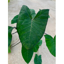 "Colocasia Black Magic ""Dark Green Leaf"""