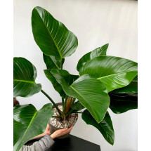 Philodendron Green Beauty ''Big Plant''