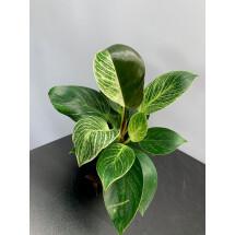 """Philodendron Birkin """"Variegata''"""