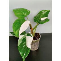 Philodendron White Princess ''Half Moon '' (4/5 leaves)