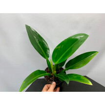 "Philodendron ""Green Fatboy"""