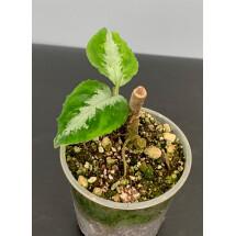 """Aglaonema pictum """"Bicolor"""""""