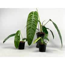 Philodendron patriciae  ''Small Leaves''