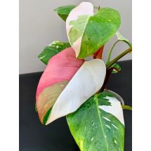 Philodendron White Princess ''Pink Splash Half Moon''
