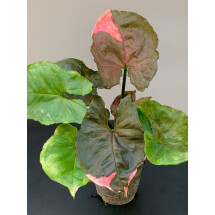 Syngonium Strawberry Ice ''Big Plant''