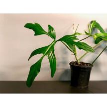 Philodendron quercifolium