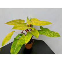 Philodendron Painted Lady (6/7 leaves)