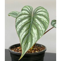 Philodendron mamei (Selection 2) ''Drak Silver Leaf''