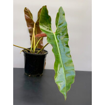 Philodendron Atabapoense ''Big leaves ''  ( Large plant )