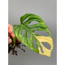 Monstera adansonii variegated aurea nr 1 (bald stek, met wortels)