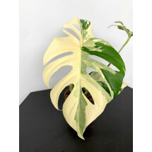 Monstera deliciosa Variegata ''Half Moon''(3 leaves)