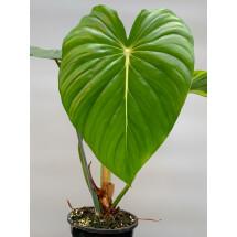 Philodendron pastazanum