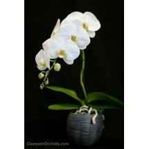 Phalaenopsis Formidablo No.9 (Big Flower) (Met keramiek grijze pot)