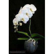 Phalaenopsis Formidablo No.9 (Big Flower) ( Met keramiek grijze pot )