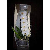 Phalaenopsis Formidablo No.1 (Big Flower) ( Met keramiek grijze pot )