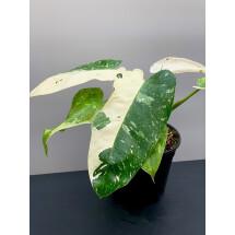 Philodendron Jose Buono ( 2-3 Leaf )