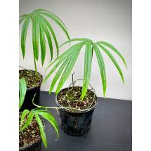 Amydrium Zippelianum (Cutting)