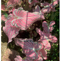"Caladium hortulanum ""Thai Beauty''"