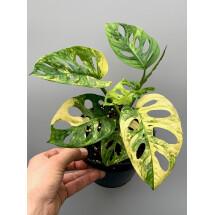 Monstera adansonii variegated aurea nr 4  (7 + Laeves)