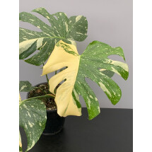 Monstera Thai Constellation  ''Half Moon''( 3 leaves)