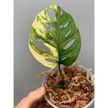 Monstera adansonii variegated aurea nr 3 (bald stek, met wortels in Sphagnum )