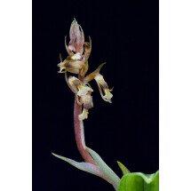 Cyclopogon lindleyanus