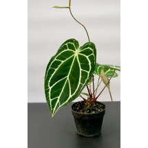 Anthurium crystallinum ''Big Plant''
