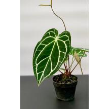 Anthurium crystallinum ''Big Plant''