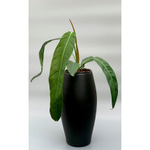 """Philodendron patriciae  """"Big Leaves"""""""