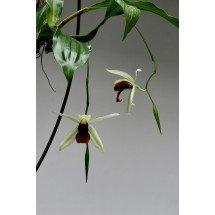 Coelogyne lawrenceana x usitana