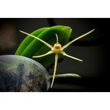 Thrixspermum acuminatissimum