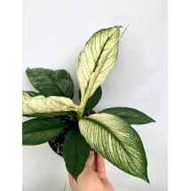 Spathiphyllum Wallisii Variegata