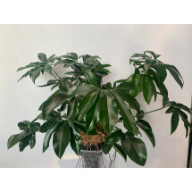 Philodendron goeldii ''Green Wonder''