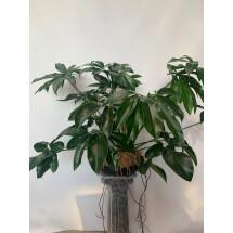 Philodendron goeldii ''Big XXL Plant''