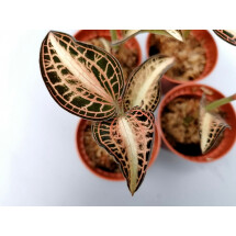 Anoectochilus albolineatus variegata