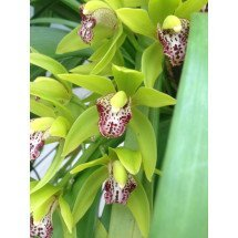 "Cymbidium Cliff Hutchings ""New Horizon Dark Leaves''"