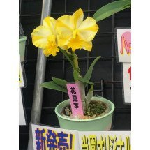 "Cattleya Candy Ball ""Yellow Happy Child"""